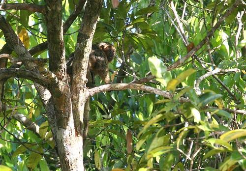 Saki monkey (Pithecia monhachus)