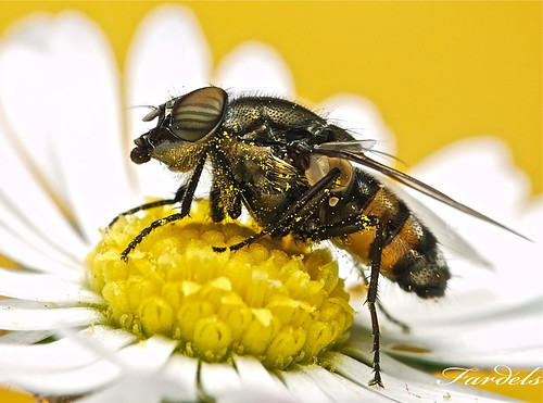 TABANO 2 - CLOSE UP - FLY - TABANUS -Calliphoride_Stomorhina-Lunata