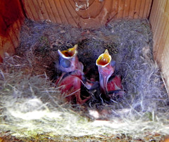 Chickadees Again