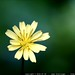 yellow flower macro / bokeh