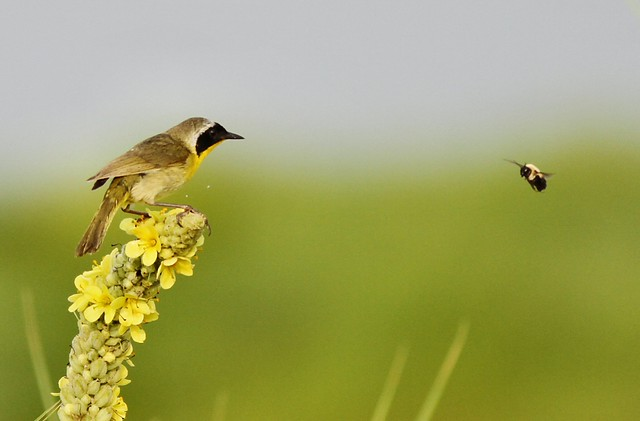 Showdown at Greenhead Ranch (Common Yellowthroat vs Bumble Bee)