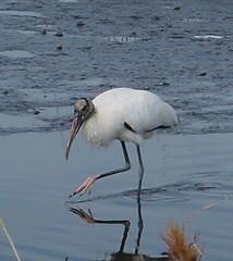 spoonbill(0.0), animal(1.0), water bird(1.0), fauna(1.0), beak(1.0), ibis(1.0), bird(1.0), egret(1.0),