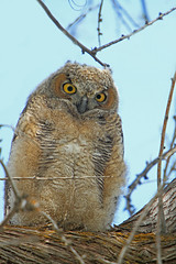 Great Horned Owlet (Bubo virginianus) ....1 of 3