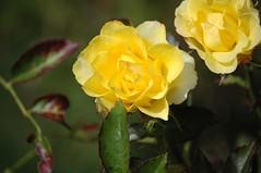 shrub(1.0), garden roses(1.0), camellia sasanqua(1.0), floribunda(1.0), flower(1.0), yellow(1.0), rosa foetida(1.0), plant(1.0), macro photography(1.0), flora(1.0), petal(1.0),