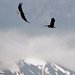 Dueling Eagles - Kenai River