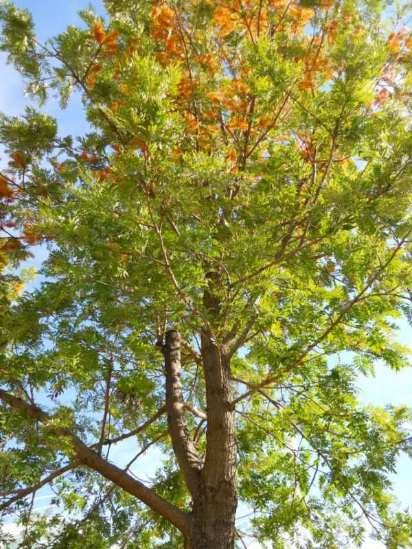 Grevillea robusta copa v 4