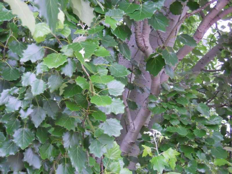 Populus alba 'Pyramidalis' 4