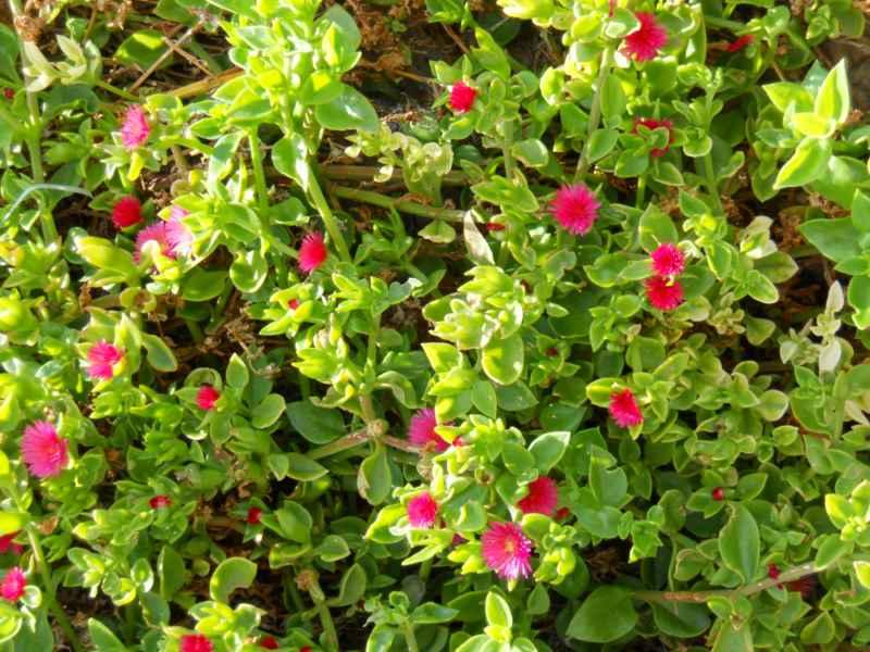Aptenia cordifolia detalle 3