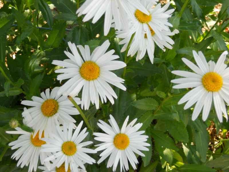 Chrysanthemum frutescens 2