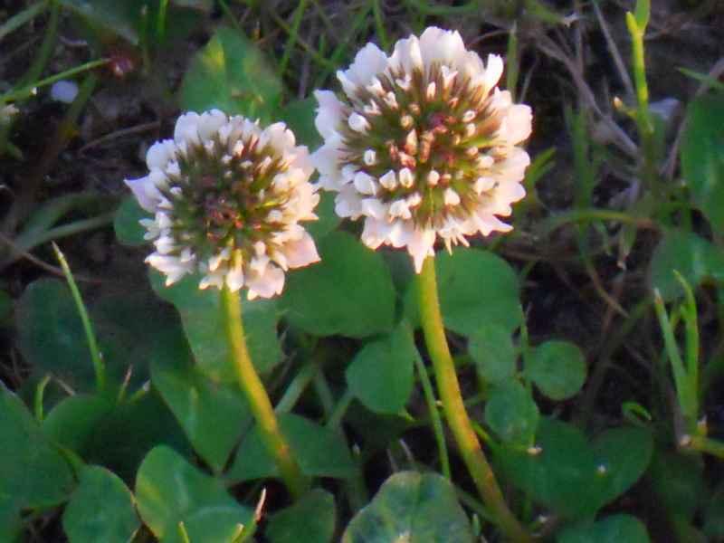 Trifolium repens flores 5
