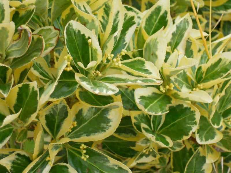Euonymus japonicus 'Aureomarginatus' 2