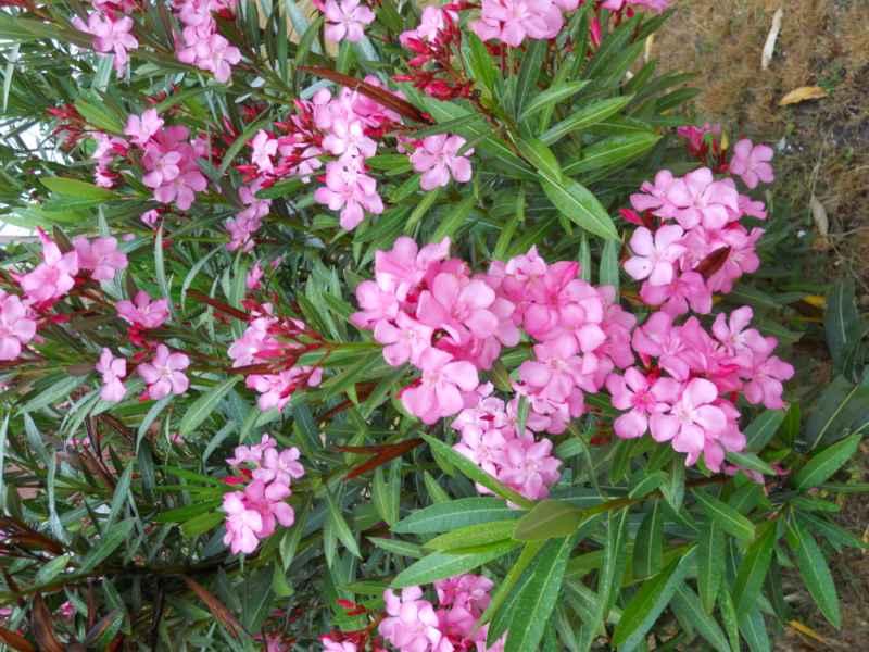 Nerium oleander 'Soleil Levant' 2