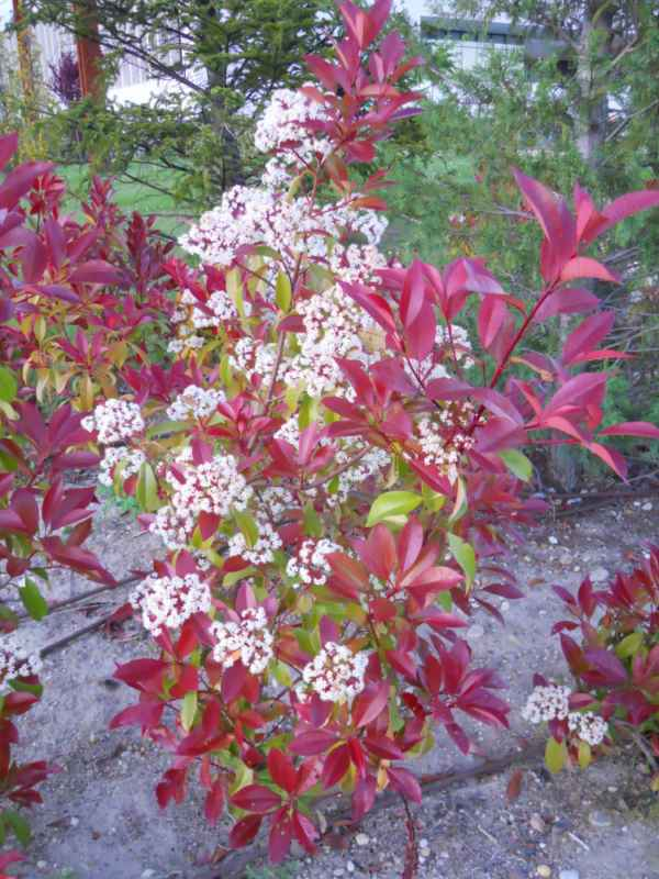 Photinia glabra arbusto v 1