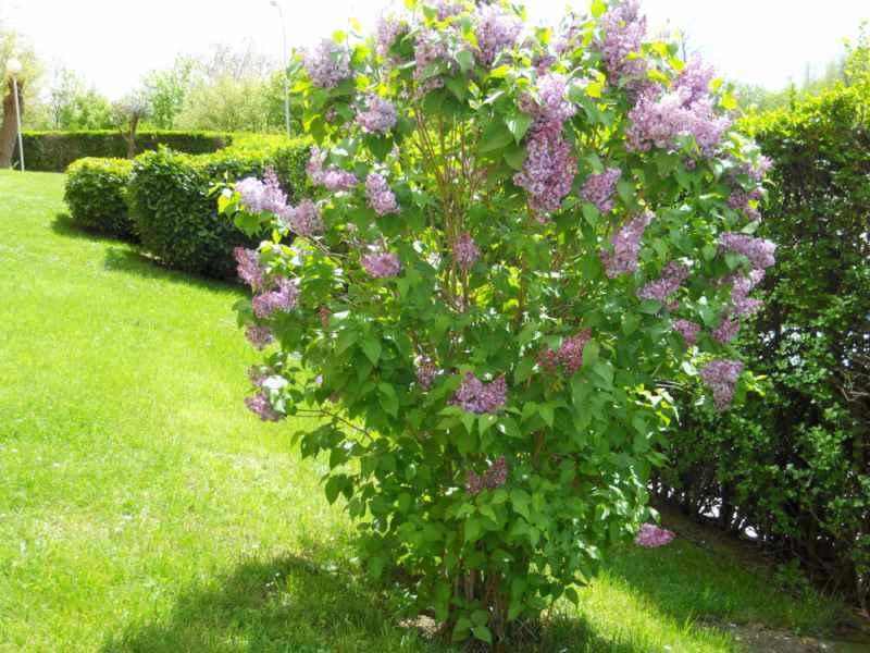 Jardineros en acci n syringa vulgaris for Jardin lilo
