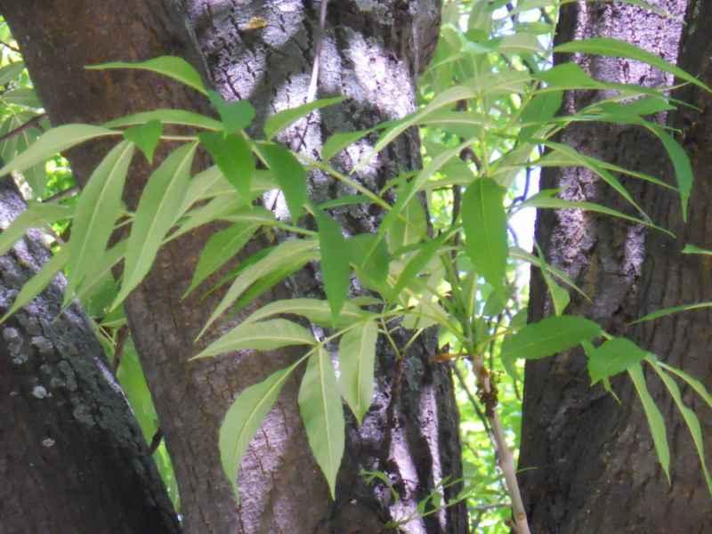 Ailanthus altissima detalle 2
