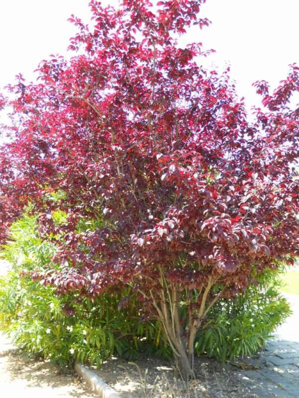 Prunus cerasifera 'Nigra' v 5
