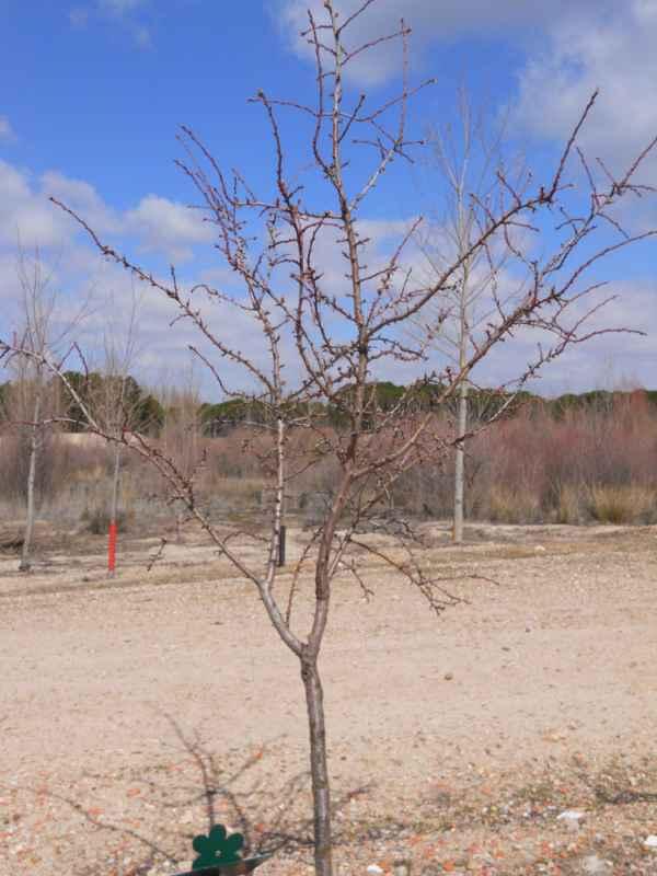 Prunus dulcis invierno v 5