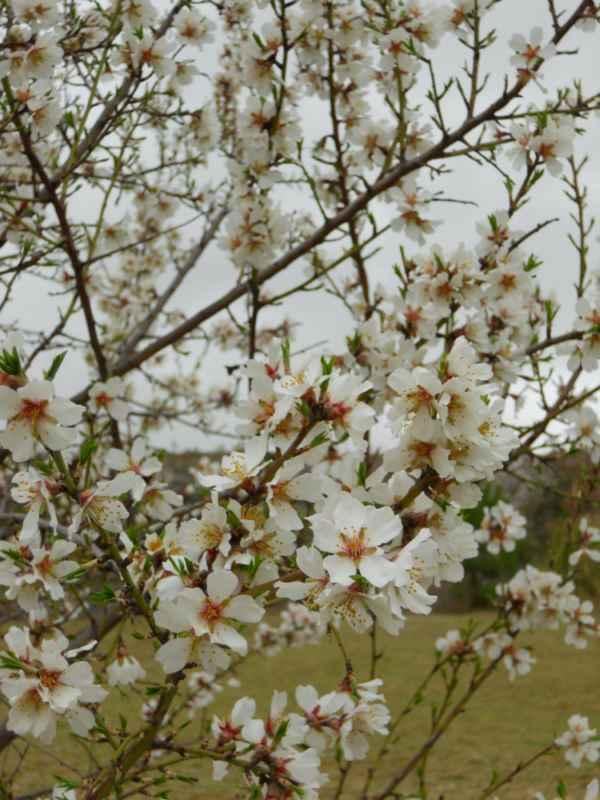 Prunus dulcis v 1