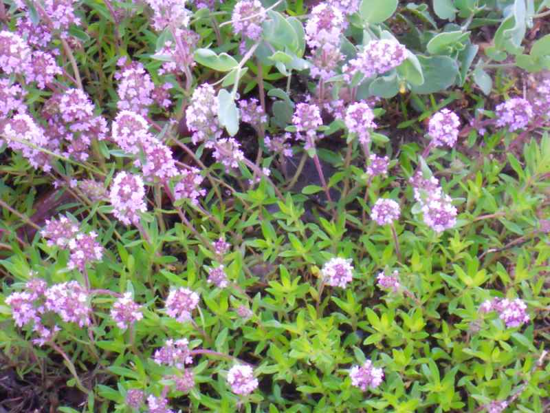 Thymus praecox.. 1