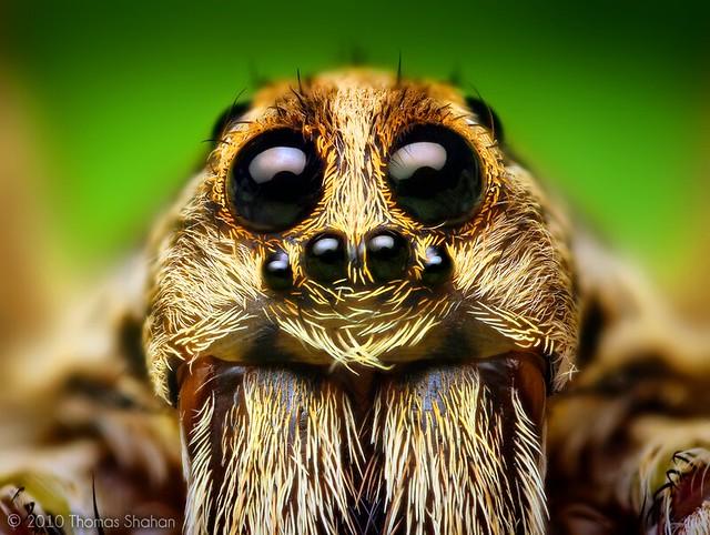 Wolf spider eyes glow - photo#7