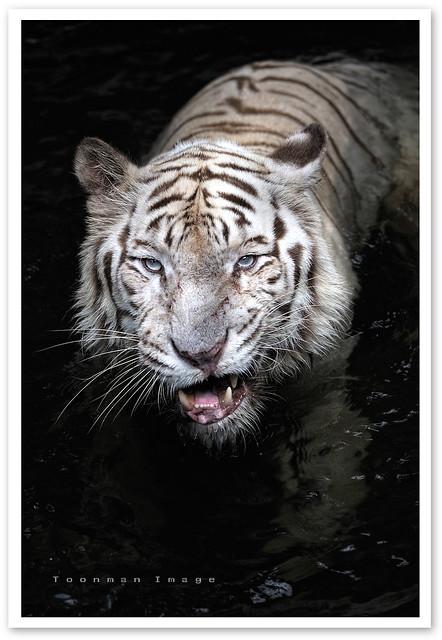 Singapore Zoo - White tiger