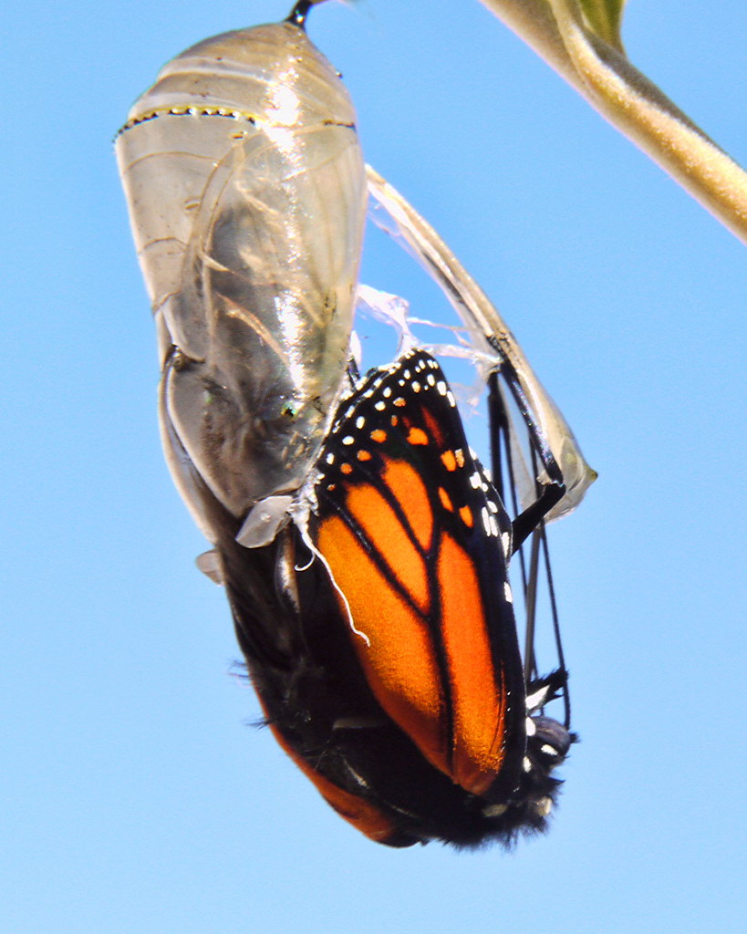 Monarch butterfly emerging from chrysalis. Image courtesy Sid Mosdell (SidPix)