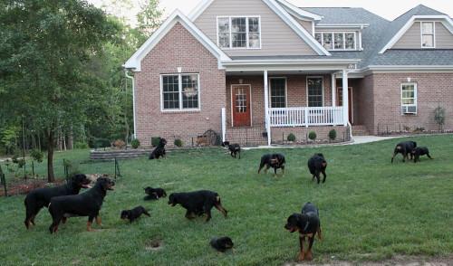 older rottweilers
