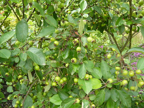 crab apple evereste
