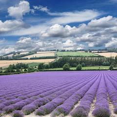Lavender field at Shoreham