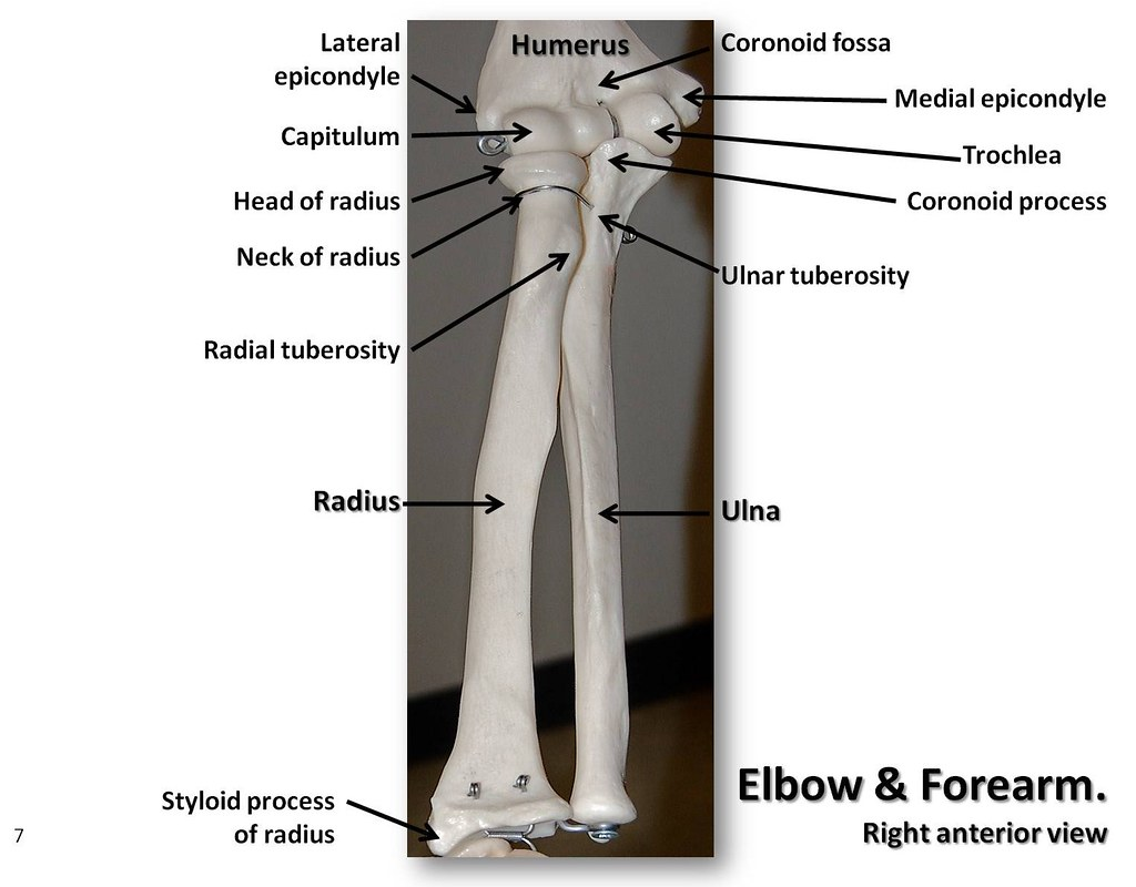 Bones Of The Elbow And Forearm Anterior View With Labels Flickr