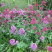 Small photo of Red and pink Valerian