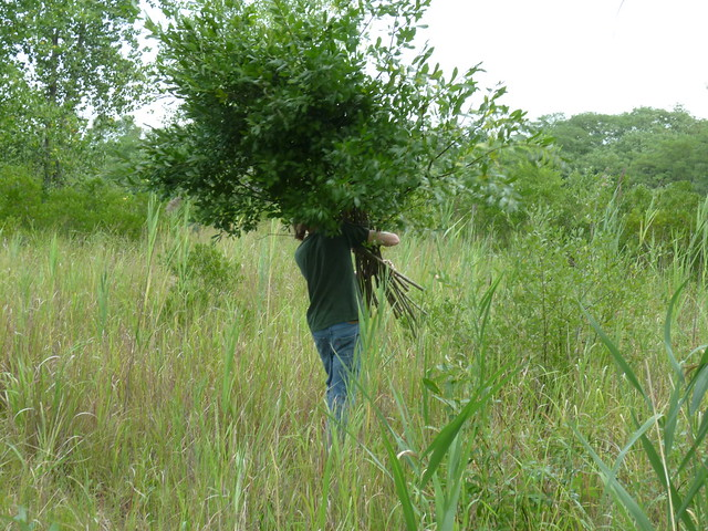A volunteer harvests invasive willow saplings. Photo by Elizabeth Peters.