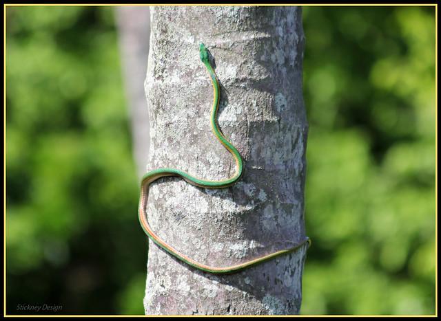 Green Horsewhip Snake