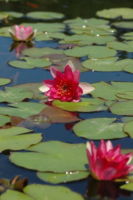 Nymphaea 'Ellisiana'. Photo by Cayleb Long.