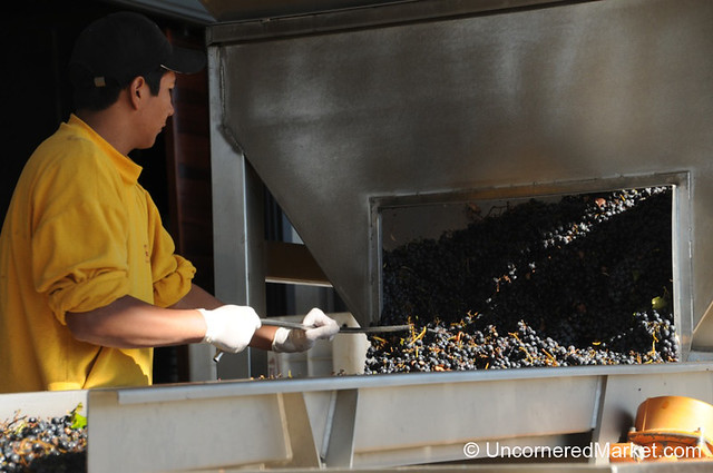 Sorting Through Grapes By Hand - NQN Winery Outside Neuquen, Argentina