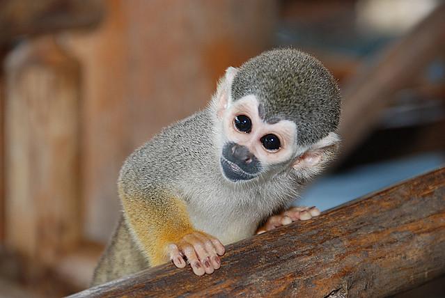Macaco Curioso / Curious Monkey