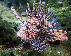 tropics(0.0), coral reef fish(0.0), scorpionfish(0.0), pomacanthidae(0.0), wildlife(0.0), coral reef(1.0), animal(1.0), fish(1.0), organism(1.0), marine biology(1.0), fauna(1.0), lionfish(1.0), underwater(1.0), reef(1.0),