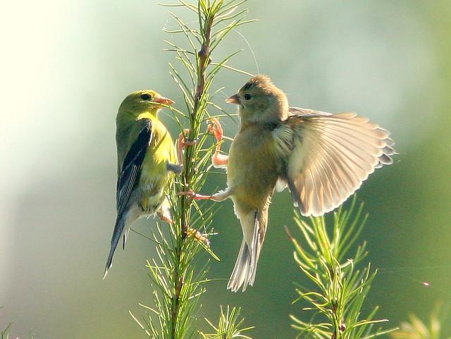 Baby Goldfinch wants Milk 2-20100815