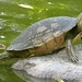 Trachemys sp (ID please)