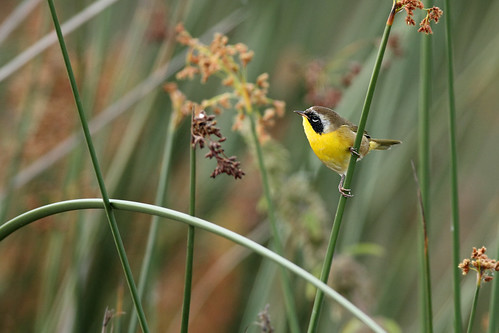 Common Yellow throat (Geothlypis trichas ) in the reeds
