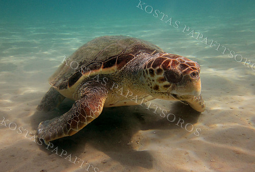 Caretta Caretta in the National Marine Park of Zakynthos