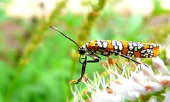 Ailanthus Webworm (Atteva aurea).   See first comment to see what he did next.