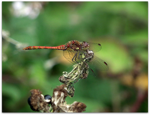 Common darter on brambles!