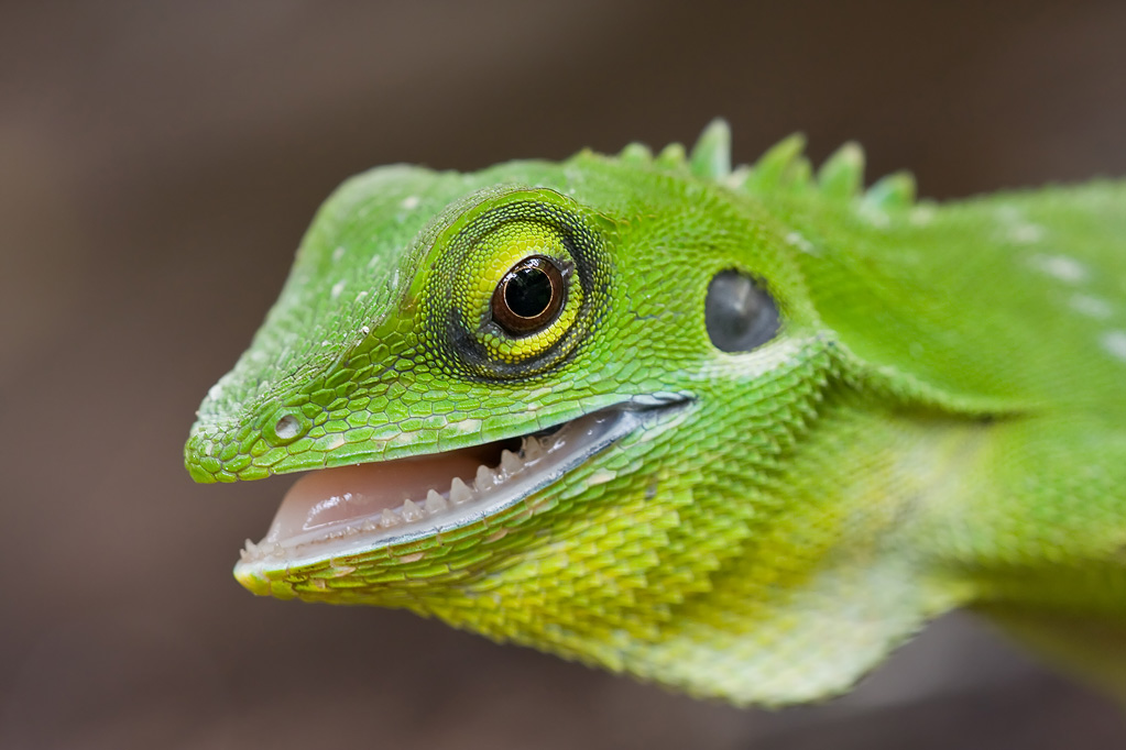 Green crested lizard, Bronchocela cristatella - FM Forums