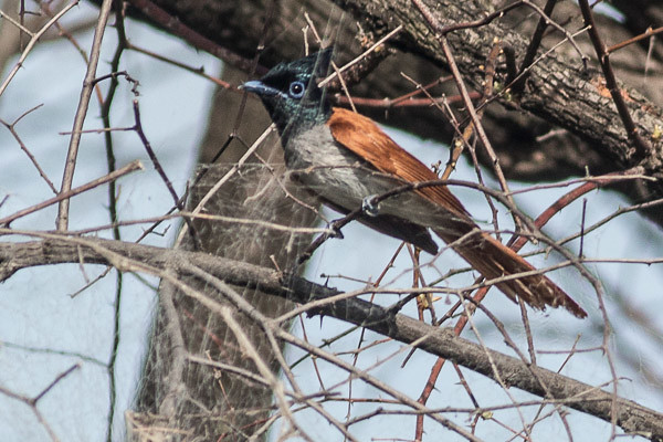 Indian paradise flycatcher - female