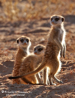 Three inquisitive Suricate siblings IMG_8100