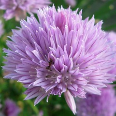 annual plant, flower, purple, thistle, lilac, flora, chives, petal,