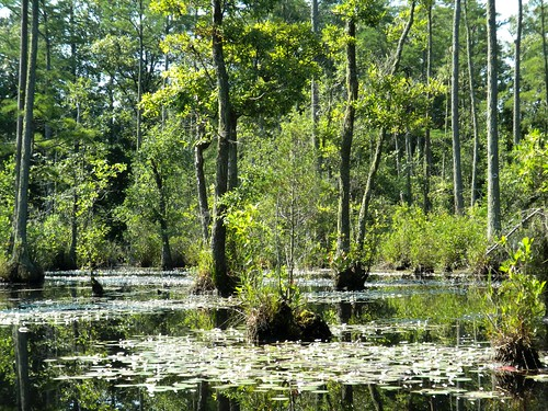 trees sc water gum pond kayak adams southcarolina canoe stump aquatic shrubs count wetland goodale drosera sarracenia kershaw emergent carex nymphaeaodorata rhynchospora cyperaceae smilaxrotundifolia flating cyrillaracemiflora braseniaschreberi schoenoplectus nymphoidesaquatica nyssabiflora dulichium myriophyllumlaxum smilaxlaurifolia