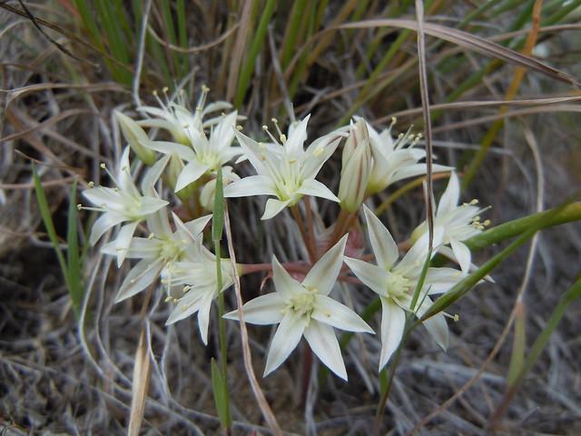 Header of Allium nevadense