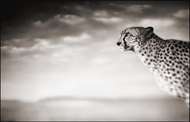 Cheetah Looking Over Plains, Maasai Mara, by Nick Brandt